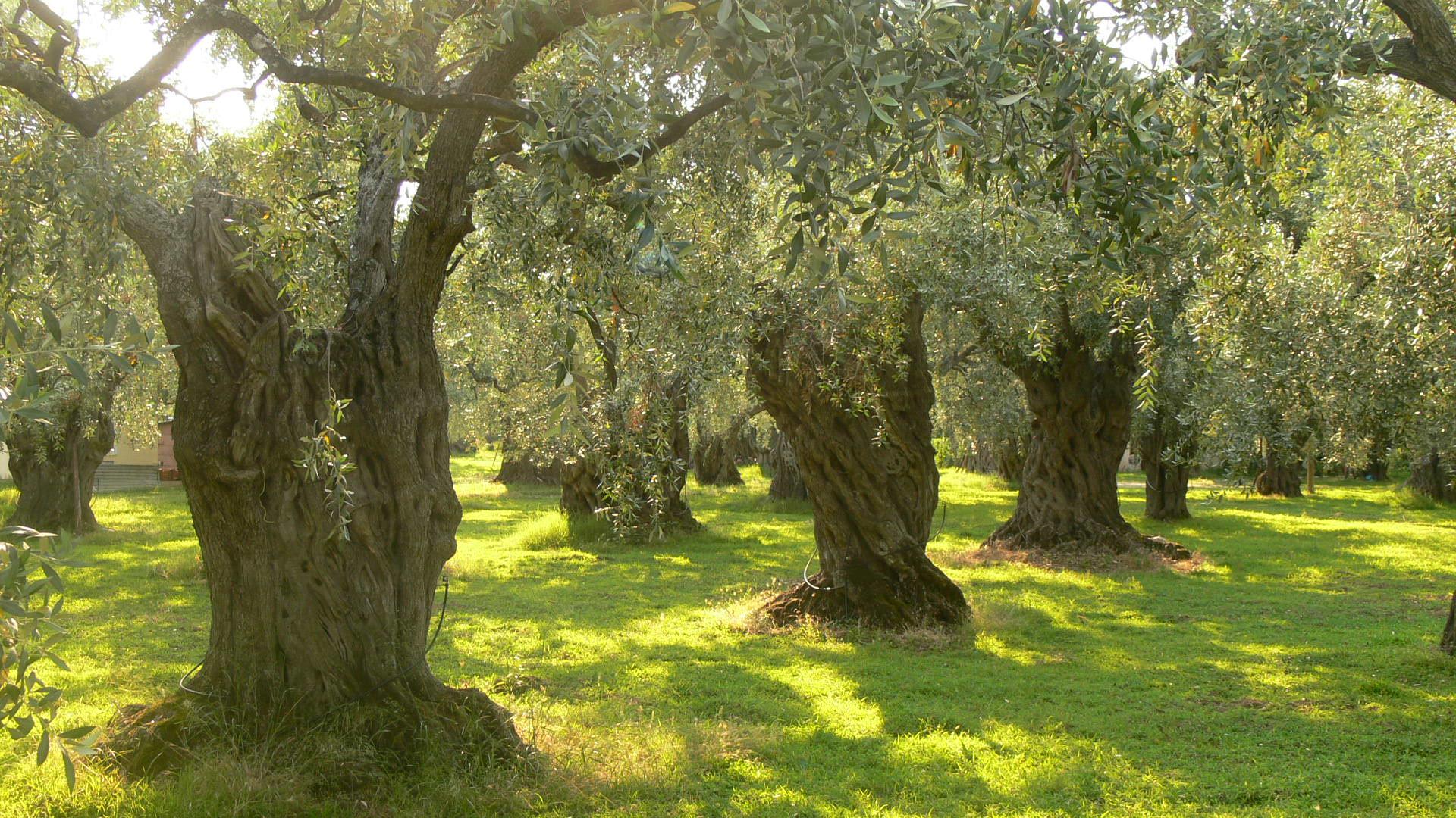 Την ανάδειξη και προστασία των αιωνόβιων ελαιοδέντρων θα επιδιώξει η  Περιφέρεια - naxostimes.gr
