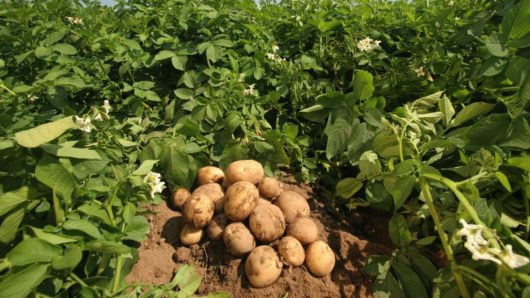 """Κυρώσεις σε εταιρεία που διακινούσε πατάτες με την ένδειξη """"Πατάτα Νάξου ΠΓΕ"""""""
