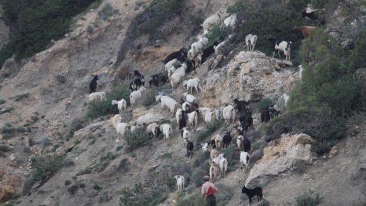 Ν. Αιγαίο: Ξεκίνησε η περίοδος απογραφής του ζωικού κεφαλαίου