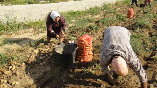 agrotes patata