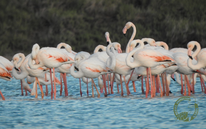flamingo mikri vigla 6