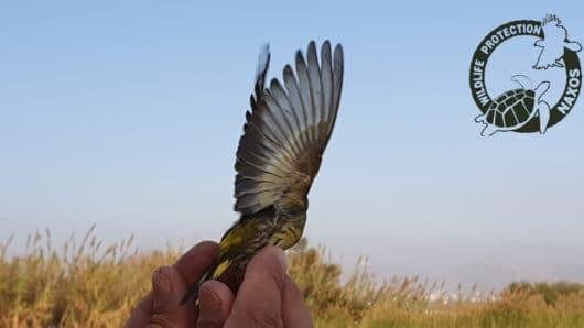 Η αιχμαλώτιση άγριων πτηνών στη Νάξο καλά κρατεί