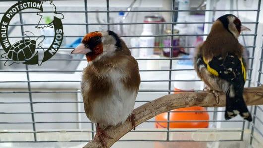 αιχμαλωσία άγριων πουλιών