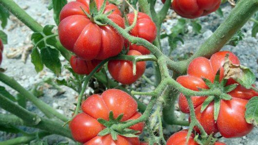 ενίσχυση πρωτογενούς τομέα - ντομάτες