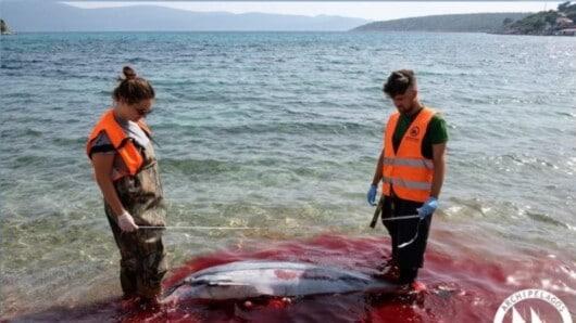 «Αρχιπέλαγος»: Μαζικές δολοφονίες θαλάσσιων θηλαστικών στα Δωδεκάνησα