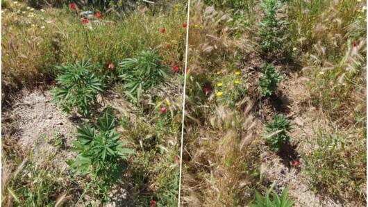 καλλιέργεια φυτών κάνναβης