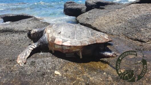 Δύο ακόμη νεκρές θαλάσσιες χελώνες σε παραλίες της Νάξου