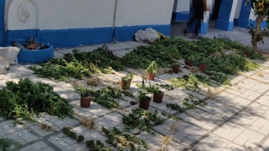 Κως: Εντοπίστηκε χασισοφυτεία με 72 δενδρύλλια – Συνελήφθησαν δυο ημεδαποί