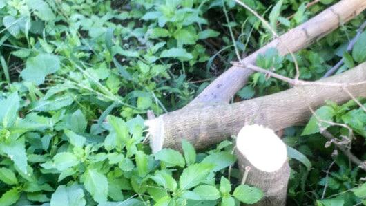καταστροφή δέντρων Κυνίδαρος Νάξου
