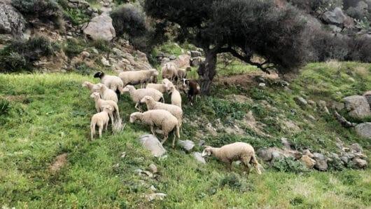 Εμφάνιση κρουσμάτων αφθώδους πυρετού και ευλογιάς σε ζώα στην Τουρκία – Οδηγίες από τις Δ/νσεις Κτηνιατρικής της Περιφέρειας