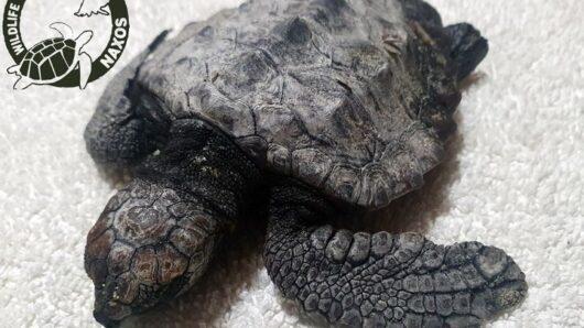 Νάξος: Μωρό θαλάσσιο χελωνάκι διασώθηκε στο Καστράκι