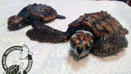 Βρήκες θαλάσσιο χελωνάκι σε κάποια παραλία της Νάξου; Διάβασε τι πρέπει να κάνεις!