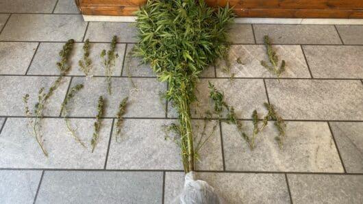 Νάξος: Συνελήφθη ημεδαπός για κατοχή και καλλιέργεια ναρκωτικών