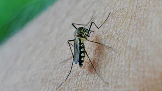 Κουνούπια από την Κορέα ανθεκτικά στο κρύο μπορούν να αποικίσουν και την Ελλάδα